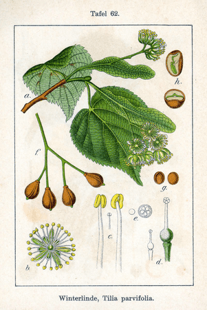 Tilia cordata - a species of linden tree